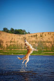 Happy dog jumping up in the water — Stock Photo