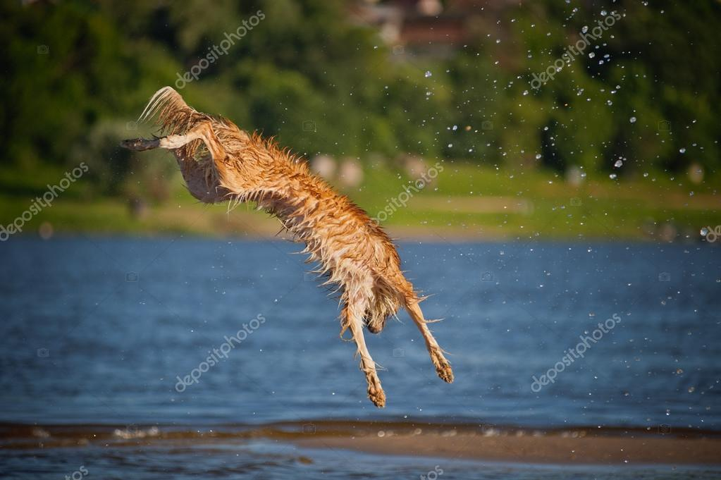 Happy Dog Jumping Happy Border Collie Dog