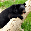 Asiatic black bear — Stock Photo #40022073