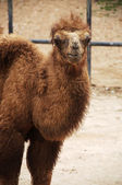 Baby Bactrian camel — Stock Photo