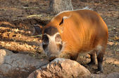 The Red River Hog — Stock Photo