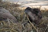 Baby arabian camel  — Stock Photo