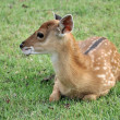 Young sika deer — Stock Photo #43765547