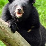 Постер, плакат: Asiatic black bear