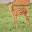 Young sika deer — Stock Photo #43767979