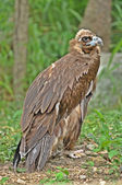 The Himalayan Griffon Vulture — Stock Photo