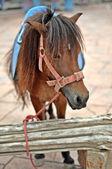 Pony — Stock Photo