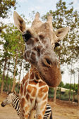 Giraffe — Photo