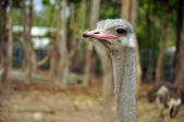 Avestruz — Foto de Stock