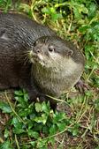 Otter — Stock Photo