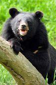 Ursus thibetanus — Foto de Stock