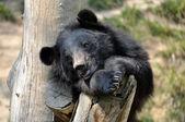 Asiatic black bear — Stock Photo