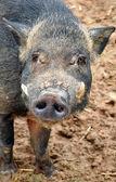 Wild boar — Стоковое фото