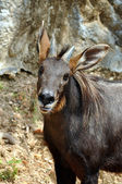 Serow — Stock Photo