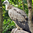 Himalayan Griffon Vulture — Stock Photo