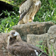 Himalayan Griffon Vulture and Cinereous Vulture — Stock Photo