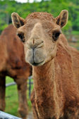 Arabian camel  — Stock Photo