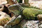 Iguana — Foto Stock