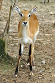 Lechwe — Stock Photo