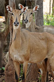 Nilgai — Stock Photo