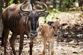 Wildebeest — Stock Photo