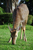 Sika deer — Stock Photo