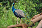 Peafowl — Foto Stock