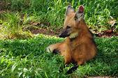 Maned wolf — Stock Photo