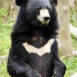 Постер, плакат: Asian black bear
