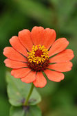 Zinnias — Stock Photo