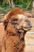 Bactrian camel — Stock Photo