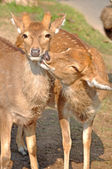 The sika deer — Stock Photo
