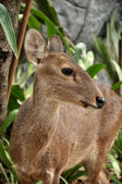 Hog Deer — Stock Photo