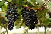 Grapes on the vine — Stock Photo