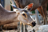 Sambar deer — Stock Photo