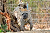 The spotted hyena  — Stock Photo