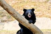 Asian black bear — Stock Photo