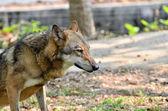 серый волк — Стоковое фото