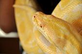 Albino burmesiska python — Stockfoto