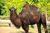 Bactrian camels  — Stock Photo