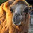 Bactrian camels — Stock Photo #44031427