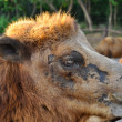 Bactrian camels — Stock Photo #44031495