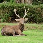 Sika deer — Stock Photo #44217541