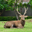 Sika deer — Stock Photo #44217975