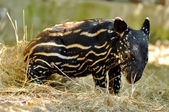 Baby tapir — Stockfoto