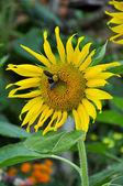 Bumblebee and sunflower — Stock Photo