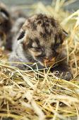 Cougar cub — Stock Photo