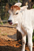 Baby American Brahman  — Stock Photo