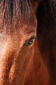 equine eye — Stock Photo
