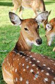 Młoda kobieta sika jelenie — Zdjęcie stockowe